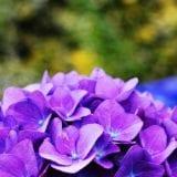 関西で紫陽花を楽しもう♪雨の日デートにもおすすめの名所7選