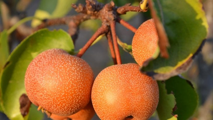 旬の梨の人気レシピ9選♪美味しい梨の見分け方や簡単アレンジ