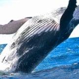 マサチューセッツでクジラ探し!ホエールウォッチングの魅力
