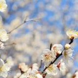 梅の名所・梅まつり2020|大阪・京都の人気おすすめスポット14選