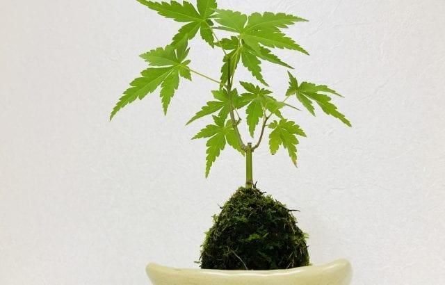 苔玉作りに挑戦!欠かせない5つの材料とコツ&おすすめ植物5選