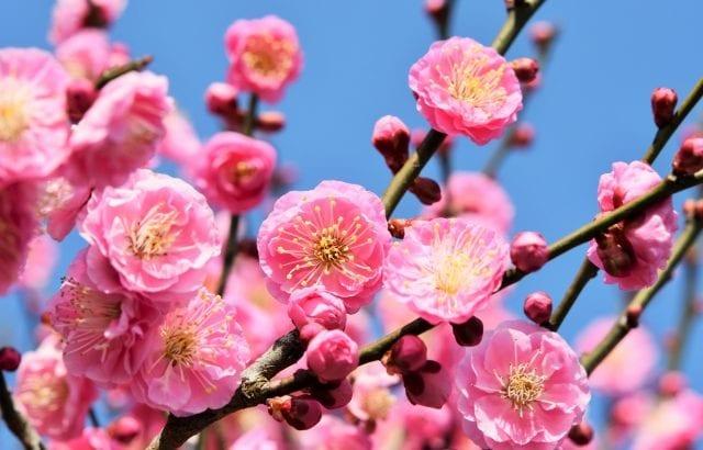 2020年関東で梅まつりを楽しもう!おすすめスポット17選