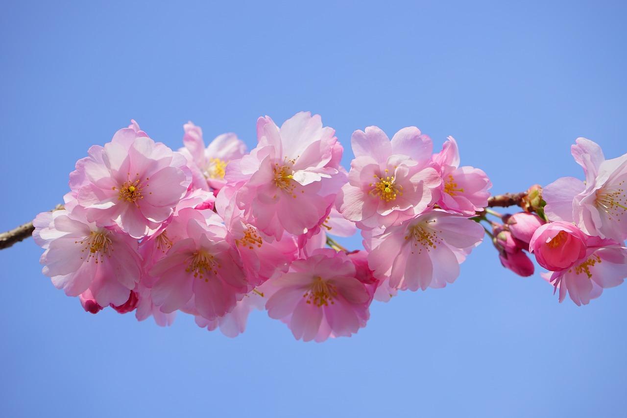 早咲き桜・河津桜を見に伊豆へ!5つの絶景桜スポットと癒しの宿15選