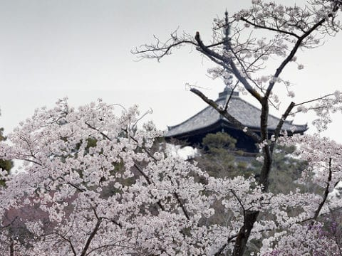 国の名勝に指定される御室桜(おむろざくら)