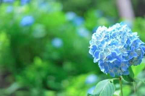 明月院ブルーの画像