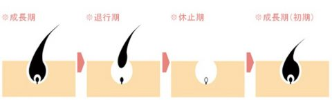 毛周期 医療レーザー脱毛