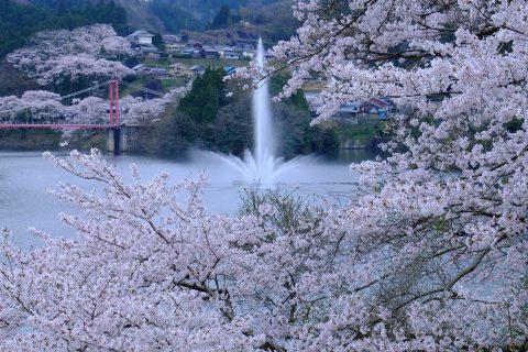湖を囲う桜が見事「月ヶ瀬湖畔」