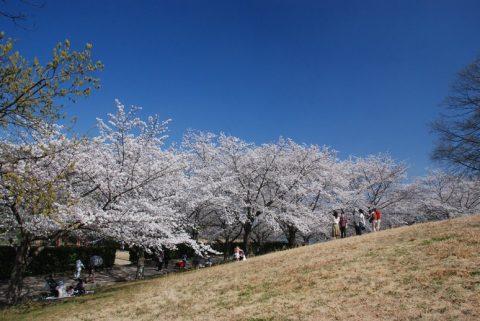 約1000本の桜は圧巻「馬見丘陵公園」