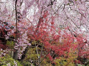 原谷苑「桜のジャングル」と呼ばれるほど一面桜だらけ