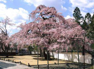 醍醐寺古くからの桜の名所