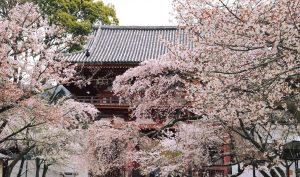 醍醐寺3週間かけて咲くから長く楽しめる