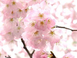 京都の桜の見ごろは?