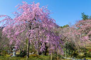 嵐山天龍寺の大きなシダレザクラが圧巻