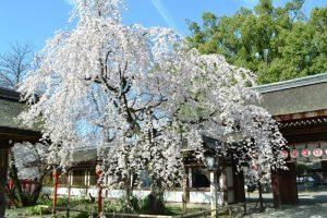 平野神社|約60種400本の桜が楽しめる