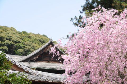 古くから愛される桜の名所「長谷寺の桜」
