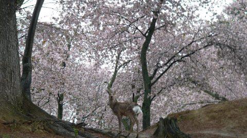 シカと一緒に桜が見れる「奈良公園」