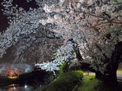 川沿いの桜並木「葛城川」