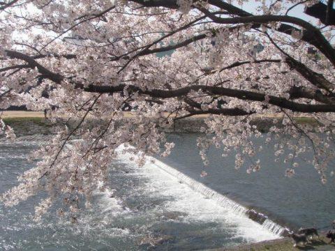 鴨川沿いを歩きながら桜を愛でる/鴨川河川敷