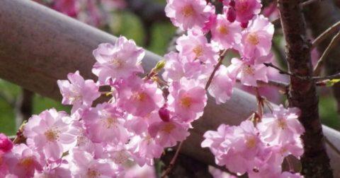 別名「里帰りの桜」