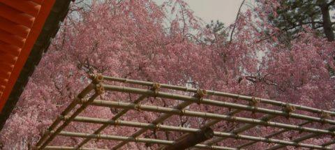 ベニシダレザクラが美しい名勝/平安神宮