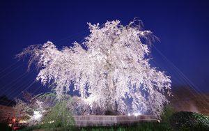 円山公園ライトアップも圧巻