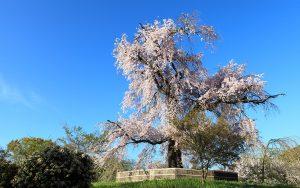 円山公園与謝野晶子が愛でた「祇園のしだれ」
