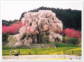 枝垂桜と桃の花の競演「又兵衛桜」