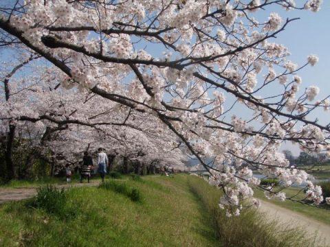 半木の道は70本の八重紅しだれ桜が美しい