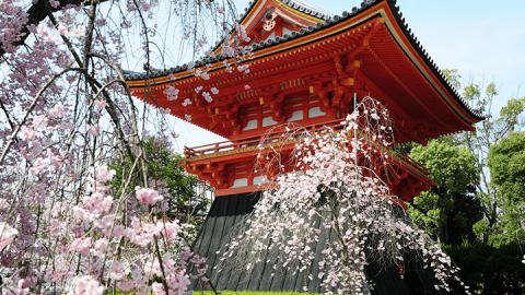 京都で1番遅咲きの桜
