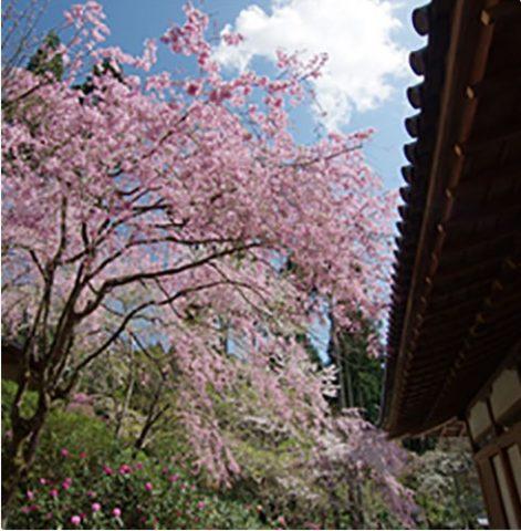 山桜やしだれ桜が咲き誇る