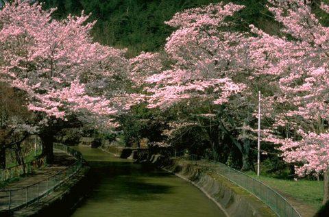 水路沿いの桜並木