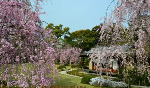 堂々としたしだれ桜が見事/城南宮(じょうなんぐう)