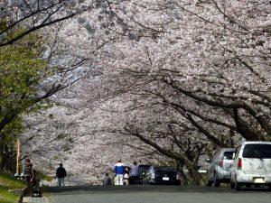 流木墓園の桜並木