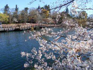 七井橋の上から眺める満開の桜